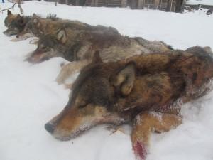 Этой зимой добычей охотников района стали 10 волков