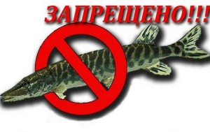 С 9 марта по 25 апреля в Витебской области действует запрет на лов щуки